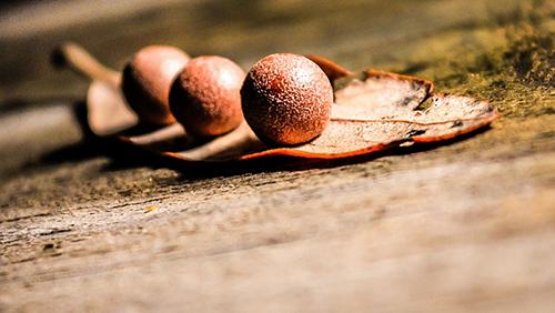 drei Nüsse auf Blatt